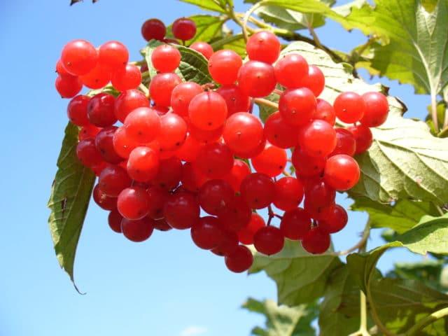 Широкое лечебное действие калины обусловлено содержанием в ней эфирных масел, фенолкарбоновых и полиненасыщенных жирных кислот
