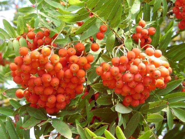 Рябина обыкновенная, она же красная, встречается буквально повсюду, если говорить о дикорастущем варианте