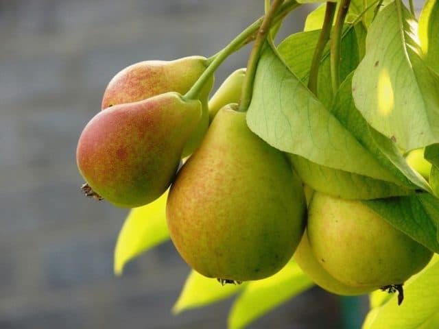 Груша - мочегонный, реминерализирующий, мягко вяжущий и освежающий плод