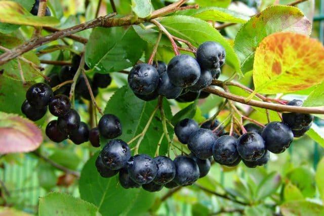 Раньше плоды черноплодной рябины применяли для лечения гипертонии и Р – гиповитаминоза