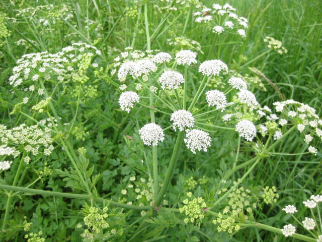 Мочегонные травы при гипертонии